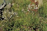 Silene latifolia ssp. alba