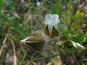 Limnanthes floccosa ssp. floccosa