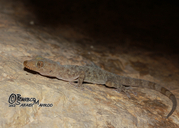 Gray-marked Gecko