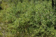 Symphoricarpos albus var. laevigatus