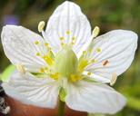 Parnassia parviflora
