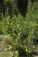Rudbeckia occidentalis
