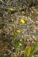 Hieracium scouleri