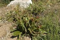 Wyethia amplexicaulis