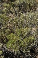Artemisia tridentata ssp. wyomingensis