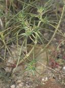 Euphorbia exstipulata