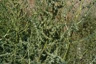 Kochia scoparia ssp. scoparia