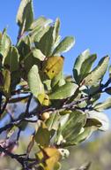Rhamnus pirifolia