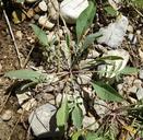 Centaurea stoebe ssp. micranthos