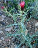 Cirsium arizonicum var. arizonicum
