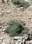 Petrophytum caespitosum ssp. caespitosum