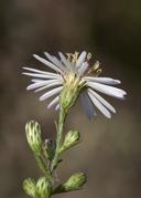Symphyotrichum pilosum var. pilosum