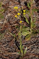 Pityopsis graminifolia var. graminifolia