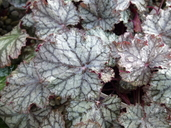 Heuchera sp.