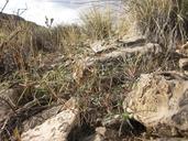 Euphorbia exstipulata var. exstipulata