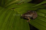 Bornean Narrow-mouthed Frog