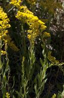 Solidago velutina ssp. sparsiflora