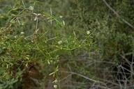 Galium porrigens var. tenue