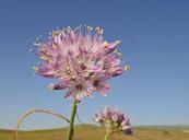 Allium howellii var. howellii