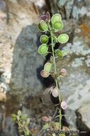 Thysanocarpus rigidus
