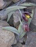 Fritillaria glauca