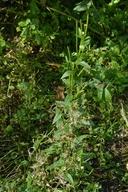 Epilobium ciliatum ssp. ciliatum