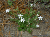 Leptosiphon floribundus ssp. floribundus