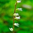 Ozomelis diversifolia