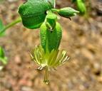 Silene lemmonii