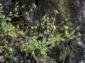 Potentilla glandulosa ssp. ashlandica