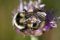 Bombus bifarius