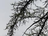 Larix occidentalis