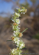 Ambrosia monogyra
