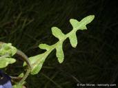 Pholistoma auritum var. auritum