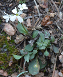 Noccaea fendleri ssp. glauca