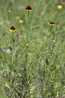 Rudbeckia hirta var. angustifolia