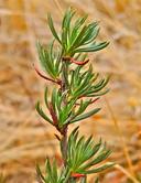 Eriogonum wrightii