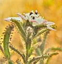 Hemizonia congesta ssp. calyculata