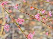 Eriogonum dasyanthemum