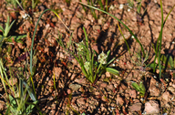 Plantago pusilla