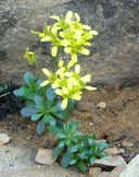 Draba howellii