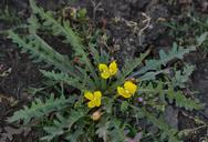 Camissonia breviflora
