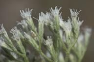 Eupatorium rotundifolium var. rotundifolium
