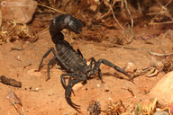 Moroccan Fat-tailed Scorpion