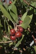 Arctostaphylos glandulosa ssp. mollis