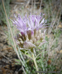 Monardella linoides ssp. linoides