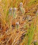 Chloropyron maritimum ssp. canescens
