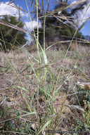 Aristida ternipes
