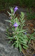 Scutellaria siphocampyloides