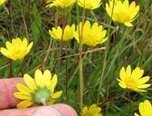 Lasthenia californica ssp. bakeri